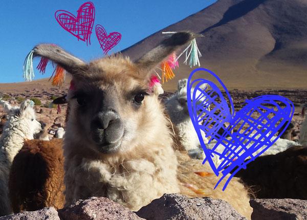 Lama Bolivie Coup de Coeur