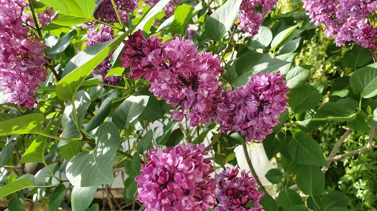 lilas en fleur